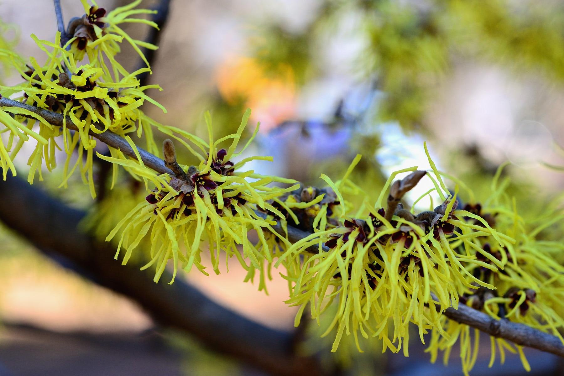 早春のマンサク 和光樹林公園