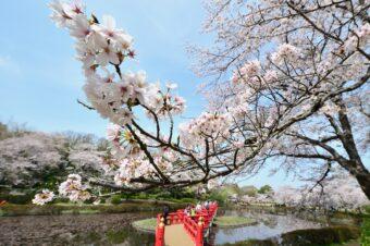 岩槻城跡公園桜まつり
