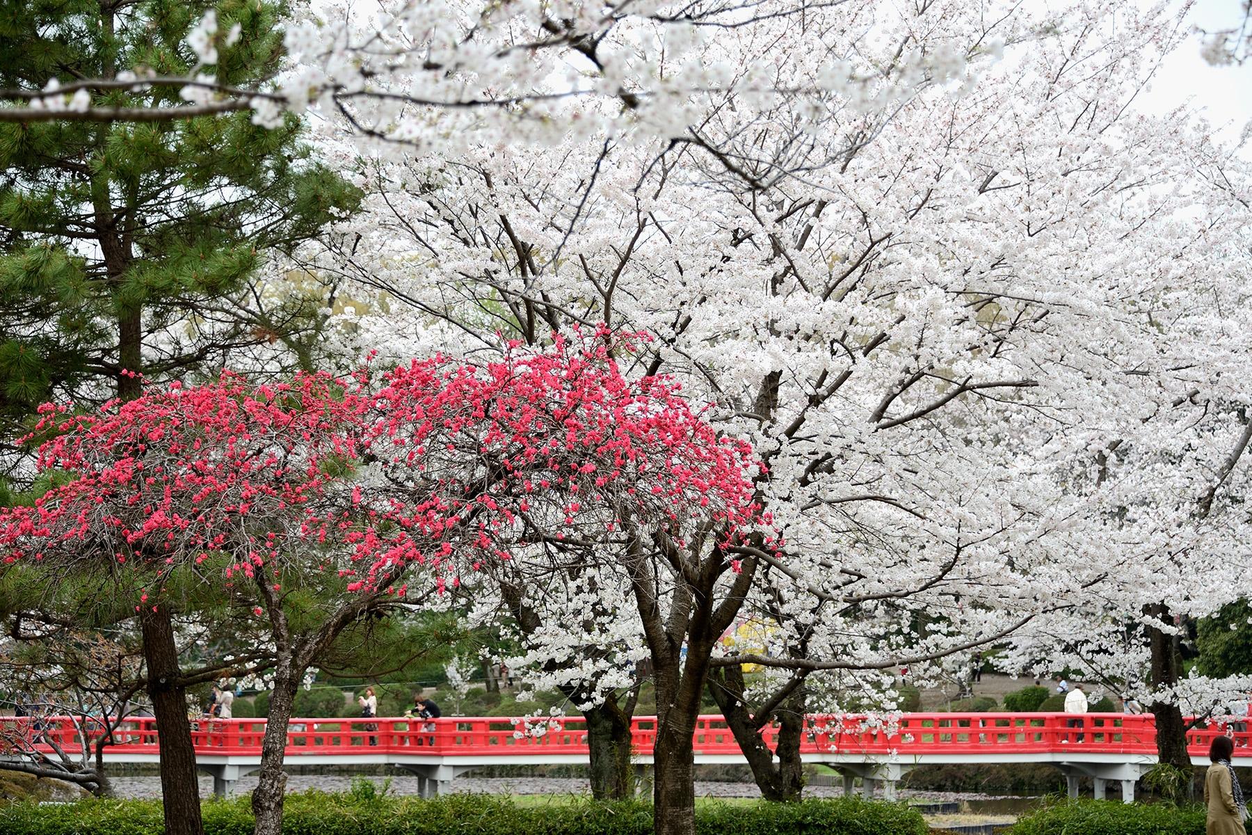 岩槻城跡公園桜まつり  岩槻城跡公園