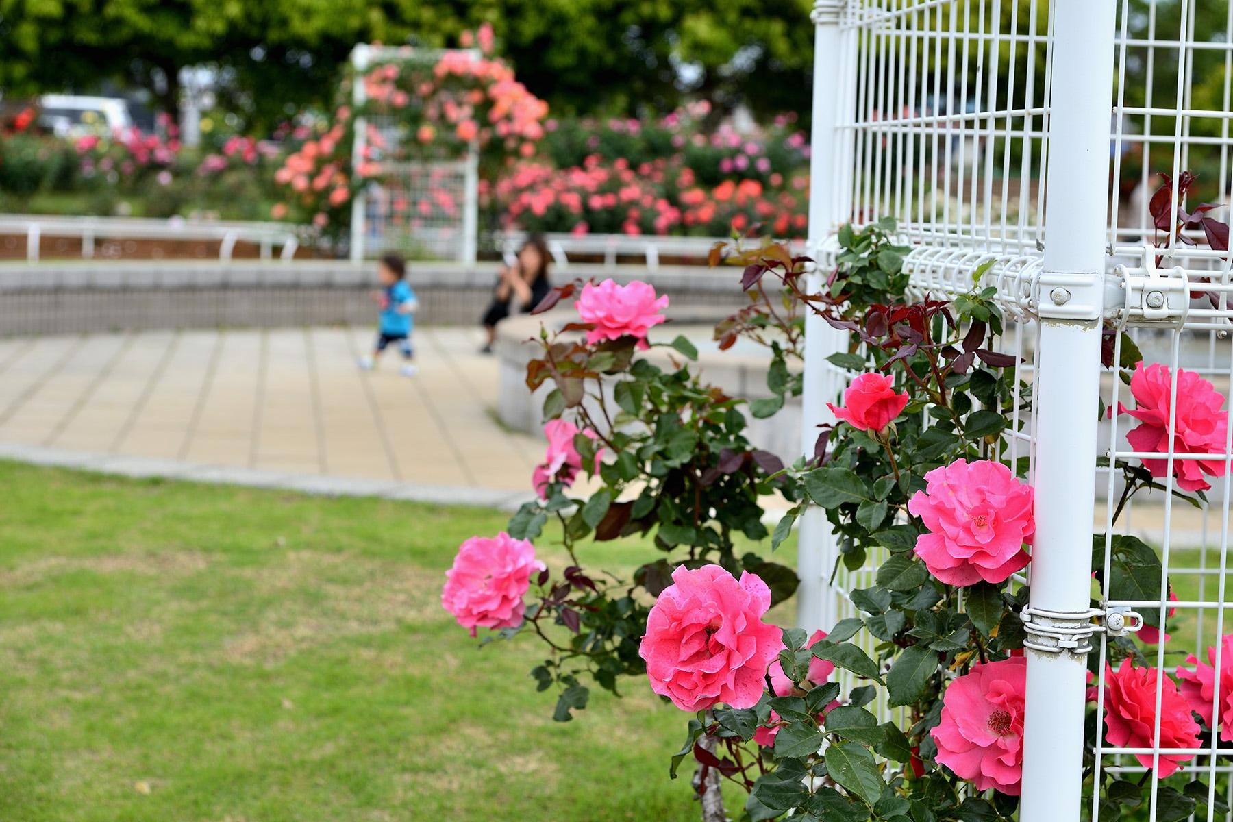 伊奈町バラまつり  伊奈町制施行記念公園