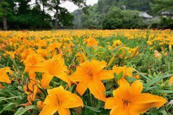皆野町でヘメロカリス開花