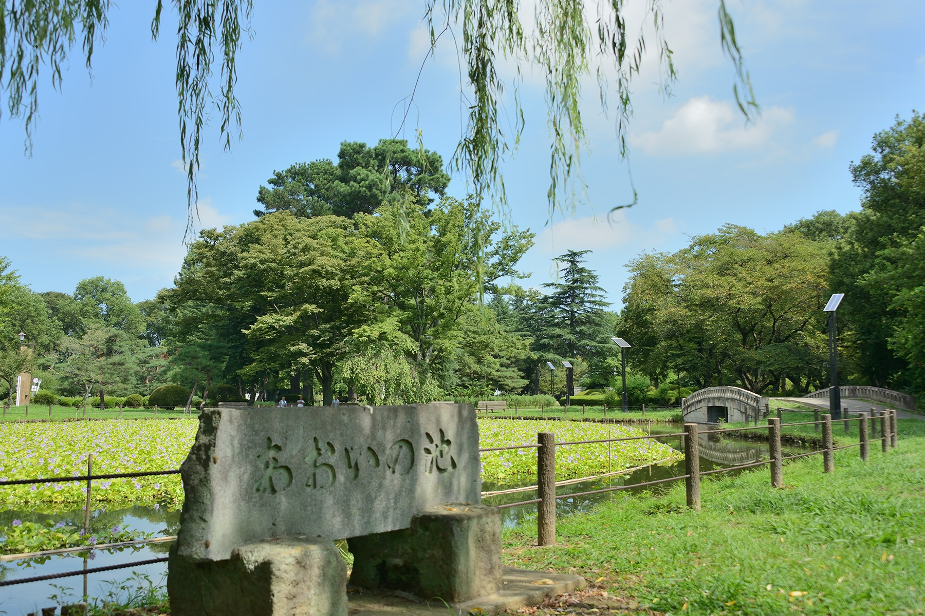 水城公園ホテイアオイ 行田市水城公園