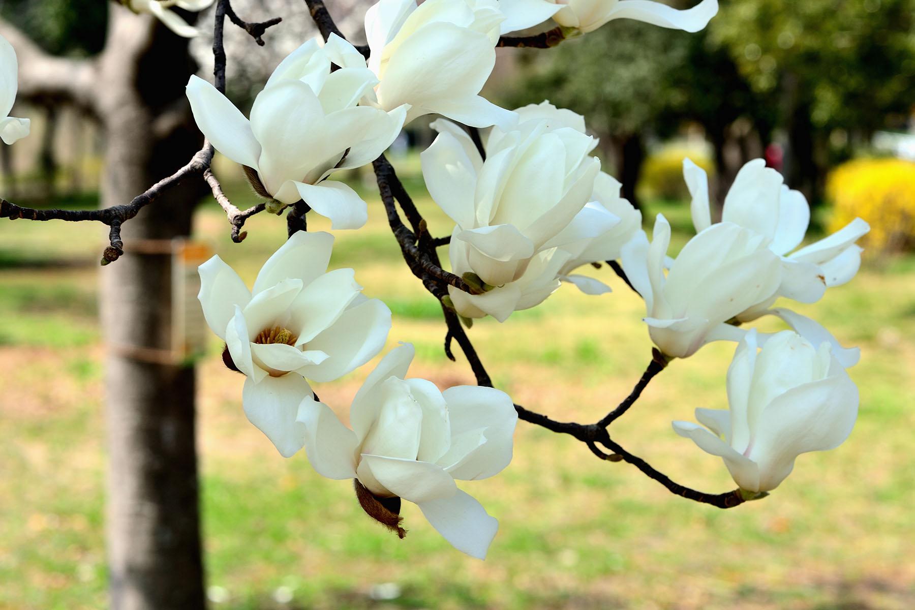早春の花、コブシとハクモクレン 県民健康福祉村