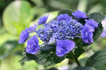 金泉寺の紫陽花