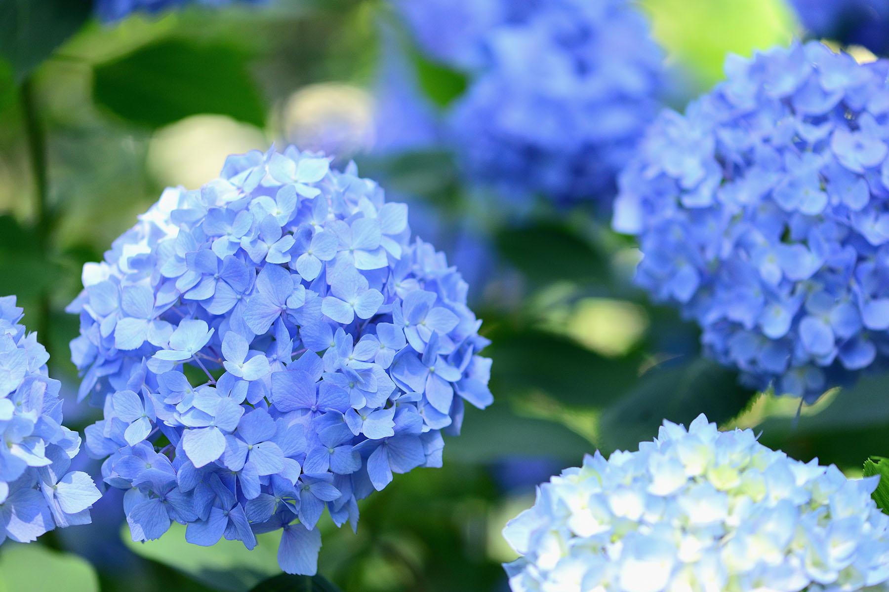 金泉寺の紫陽花(アジサイ) 大龍山 金泉寺