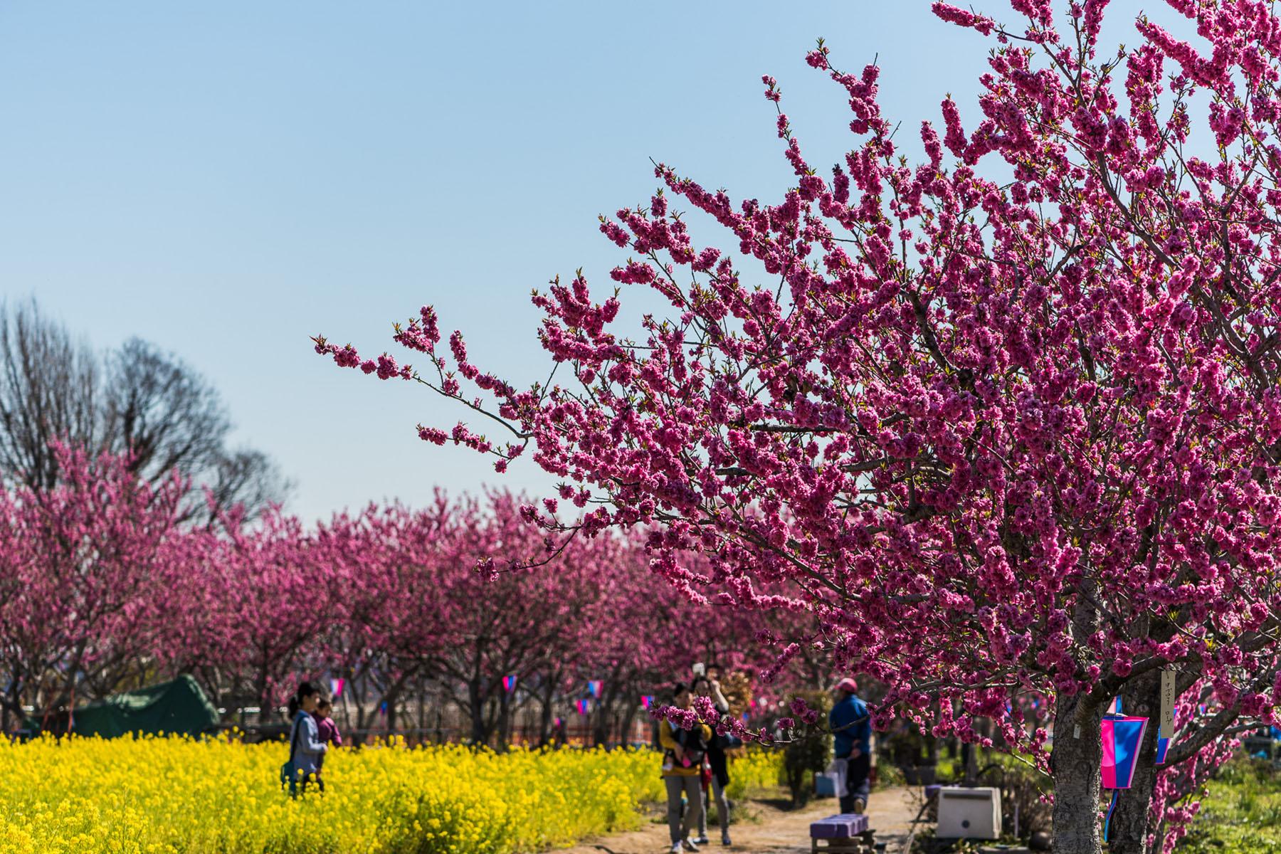中川やしお花桃まつり 中川やしおフラワーパーク