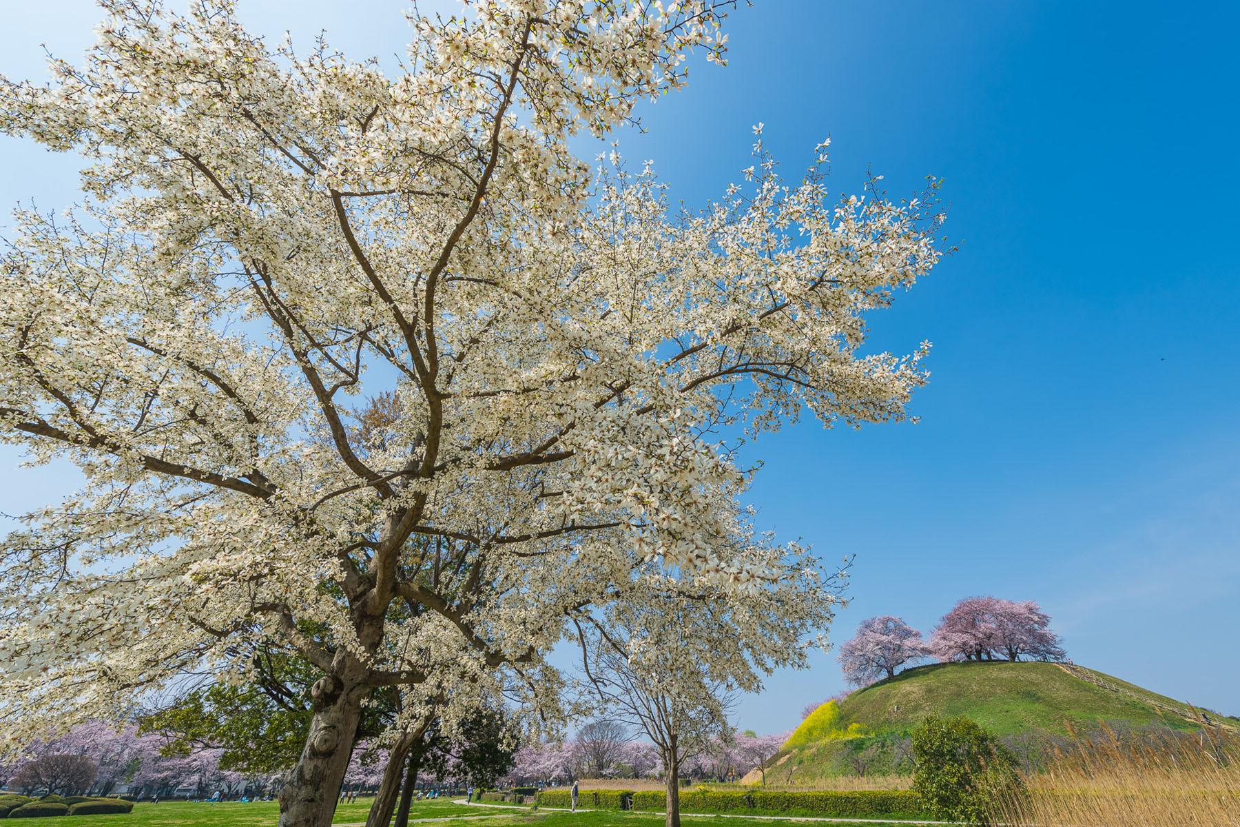 丸墓山古墳の桜 さきたま古墳公園