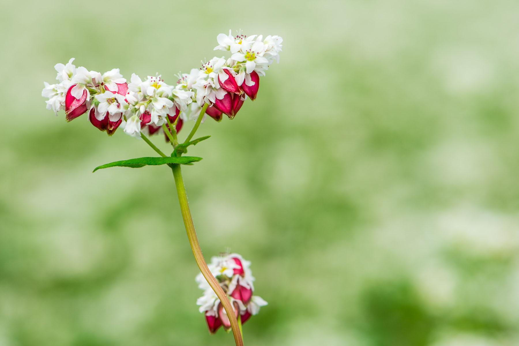 ちちぶ荒川秋そばの花見まつり ちちぶ花見の里