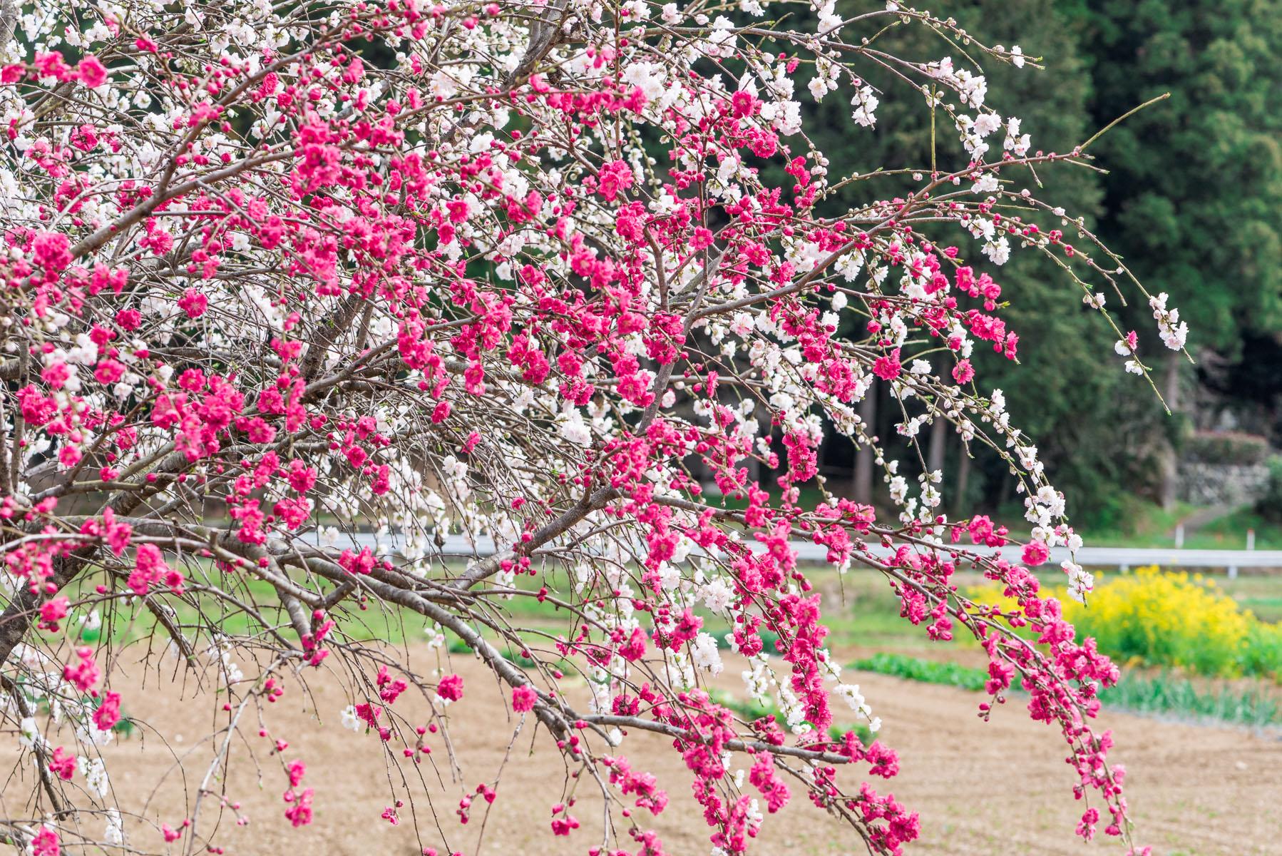 ときがわ 花桃の里 八幡神社周辺