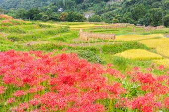 寺坂棚田の稲穂と彼岸花
