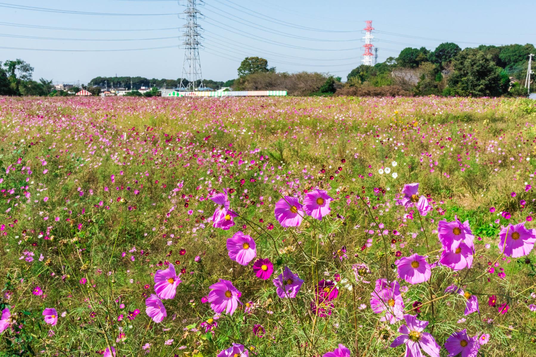 コスモス畑 岩槻区南下新井の遊休地