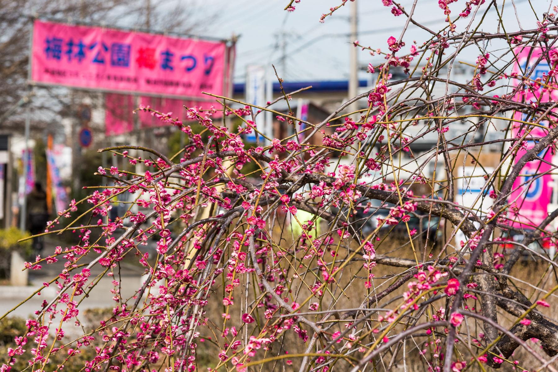 越谷梅林公園梅まつり