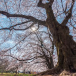 無線山さくらまつり 無線山桜並木