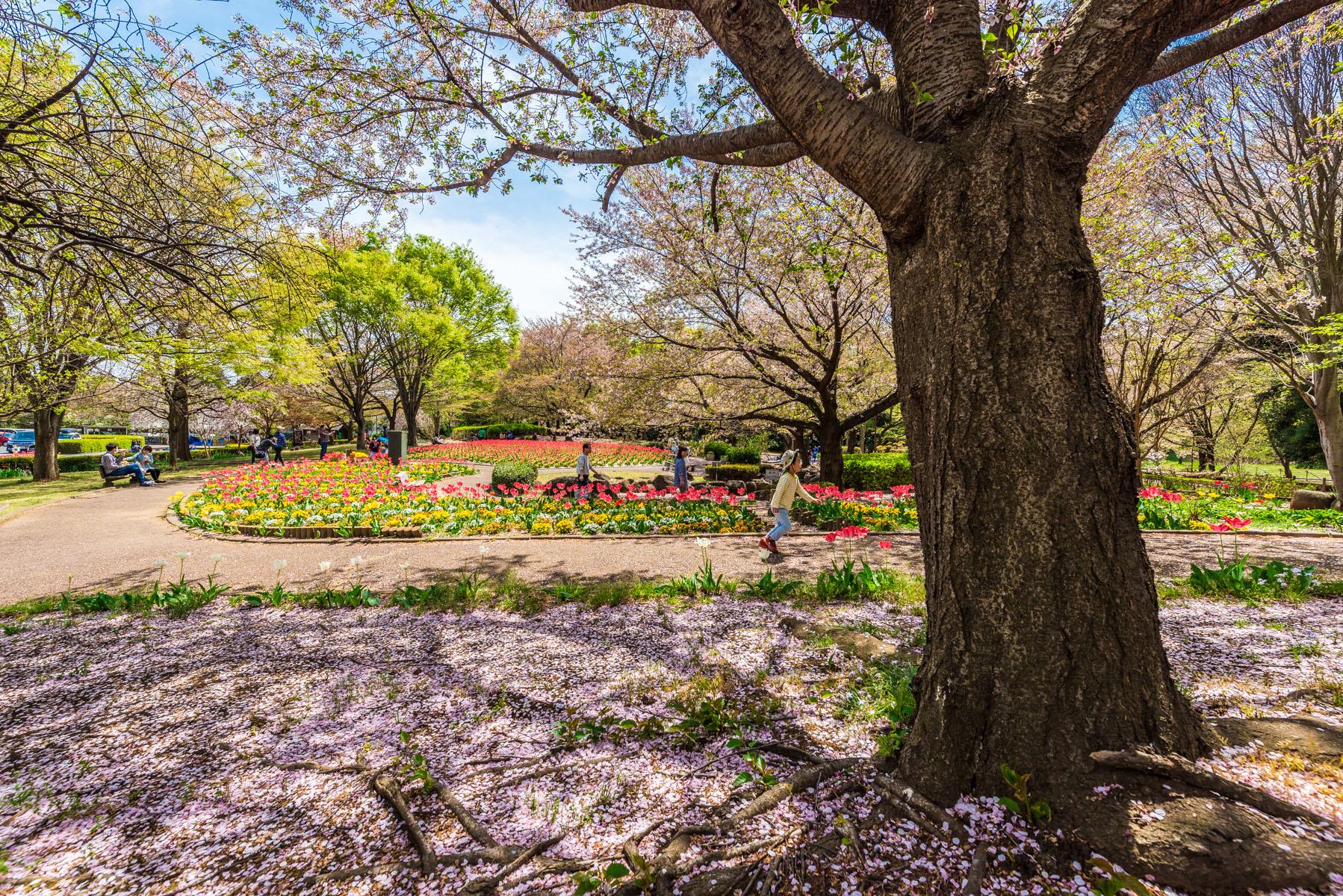 大宮花の丘農林公苑のチューリップ