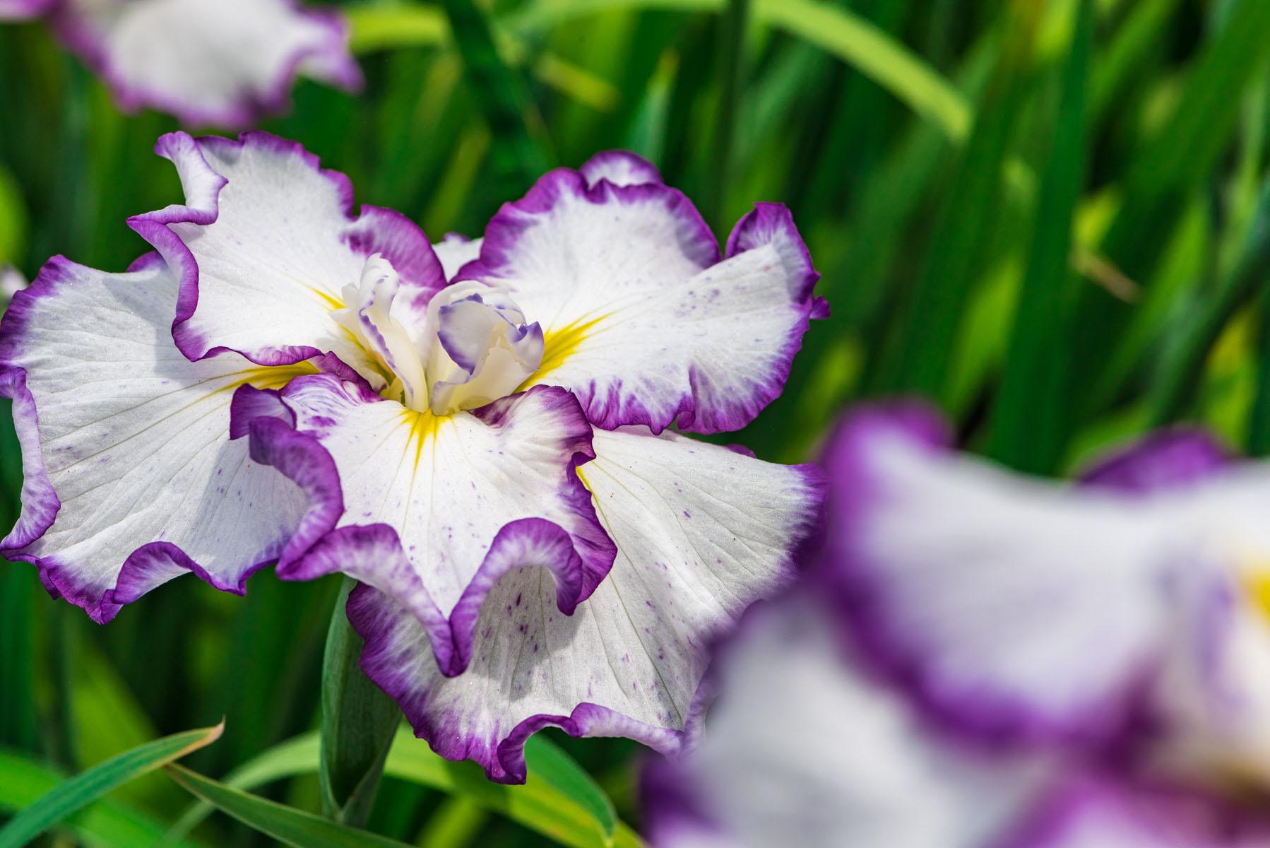 染谷の花しょうぶ(花菖蒲)