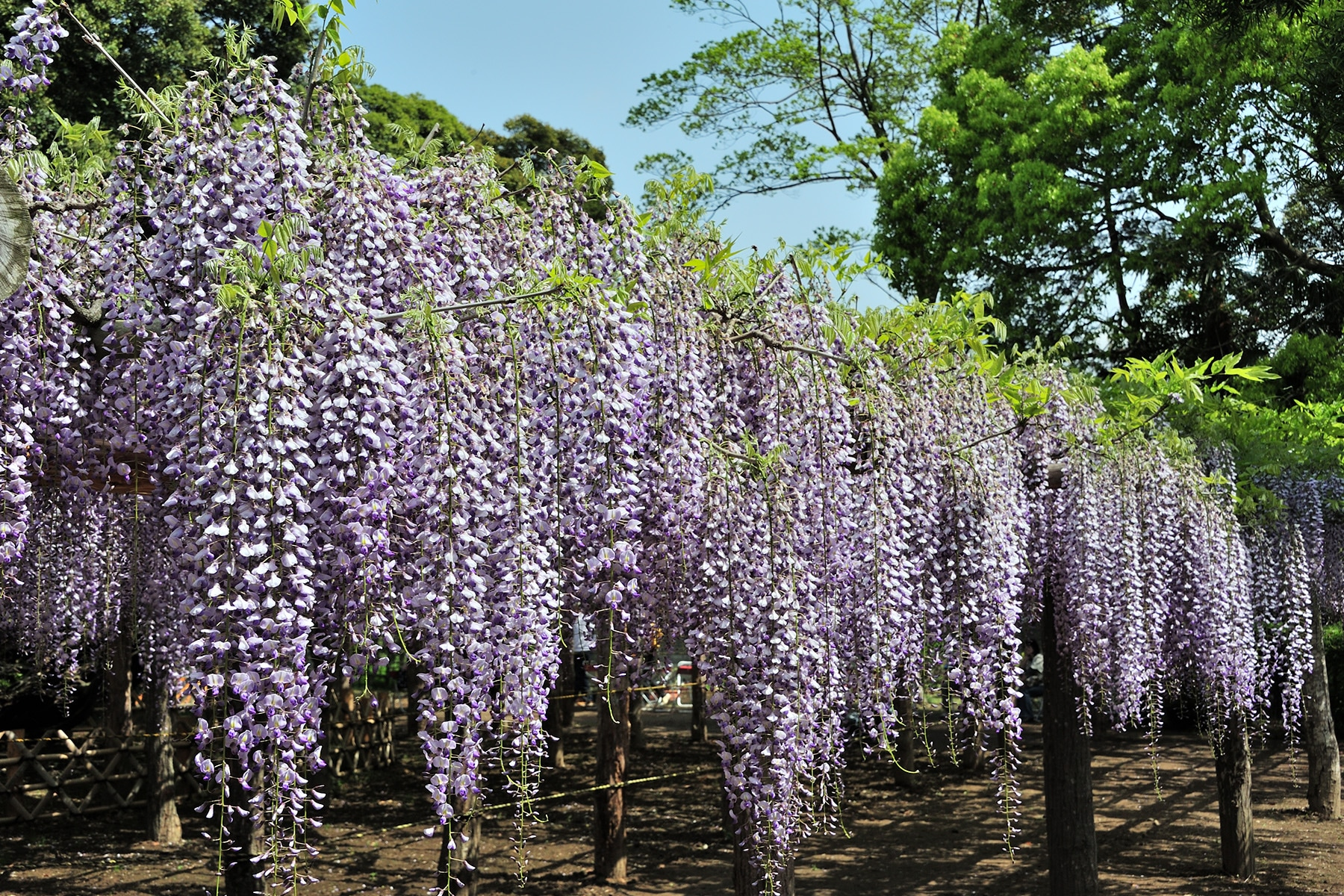 牛島のフジ 藤花園