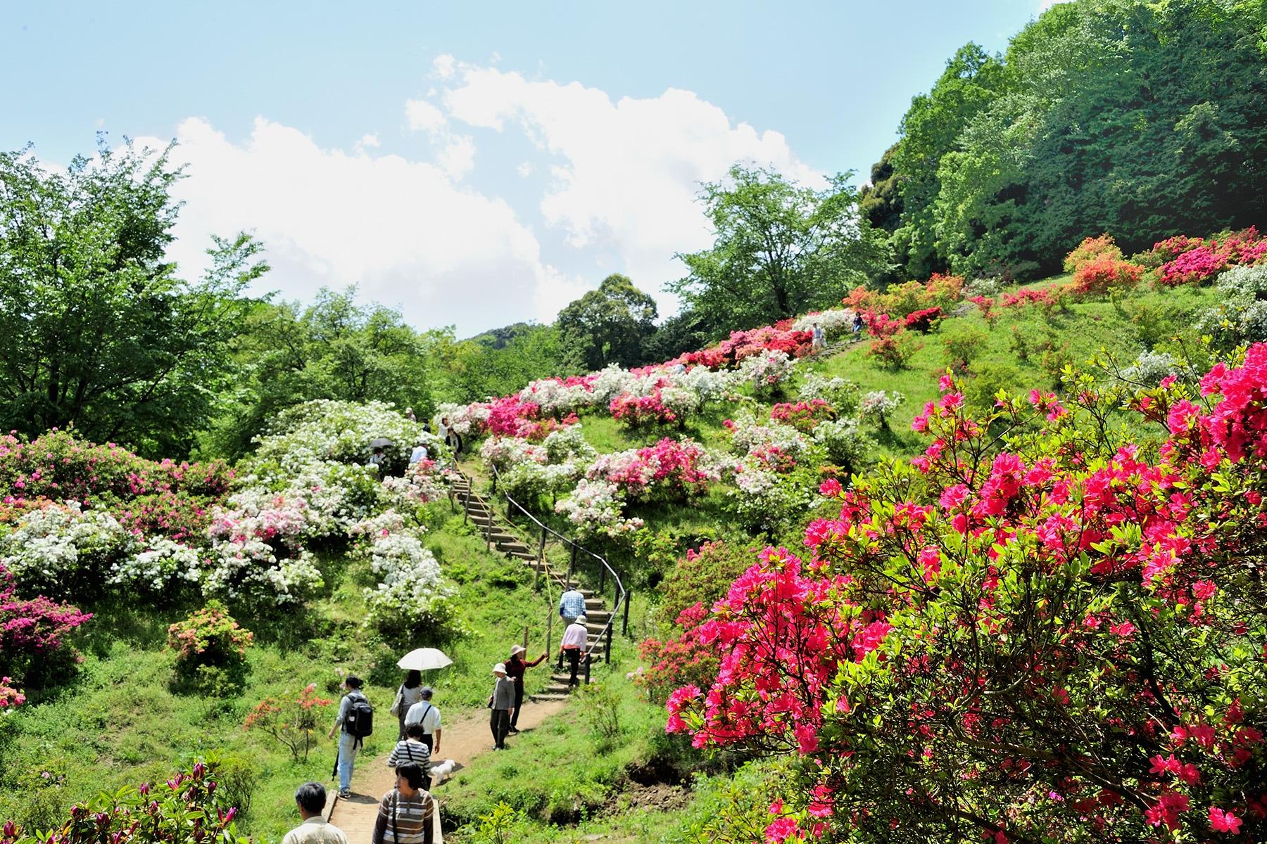 五大尊のツツジ 黒岩長徳寺