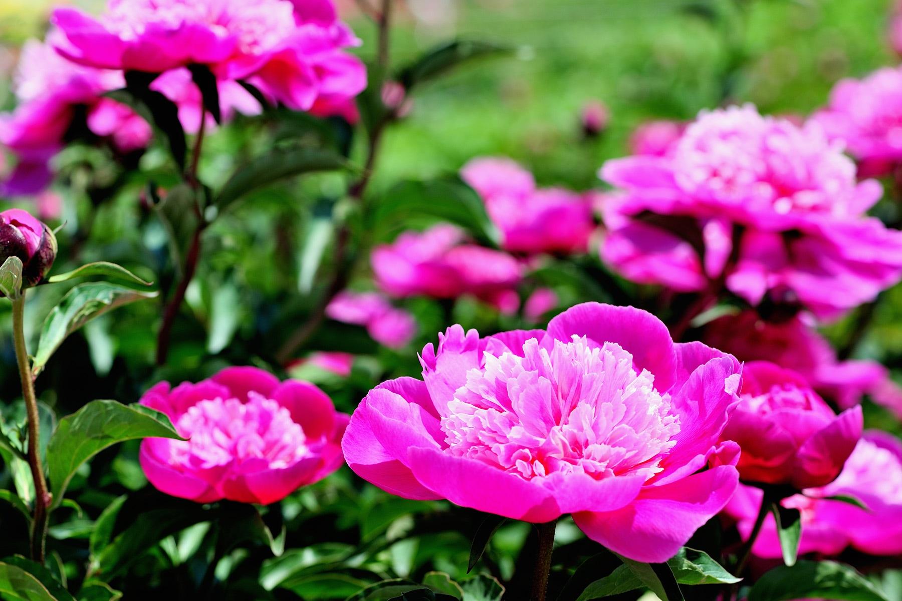 花園芍薬園