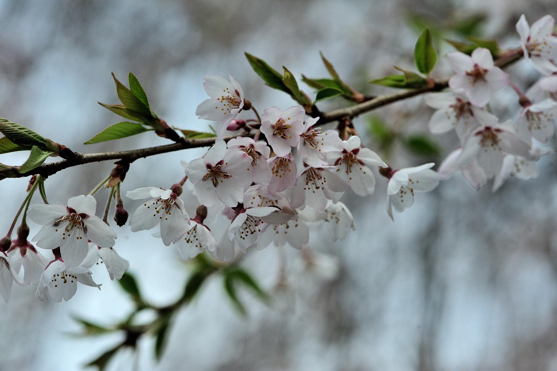 清雲寺の枝垂れ桜