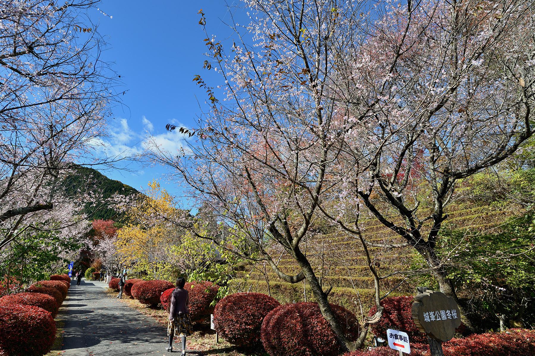 紅葉と冬桜 城峯公園