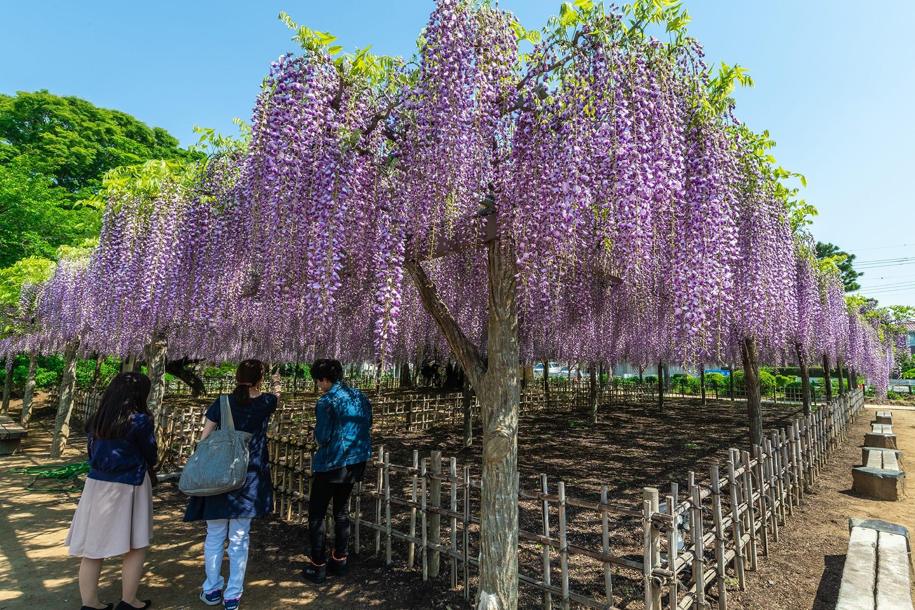 玉敷神社の大藤|玉敷公園
