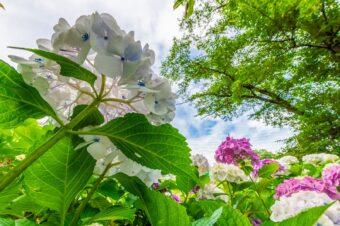 長念寺の紫陽花
