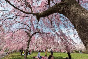 羊山公園の枝垂れ桜