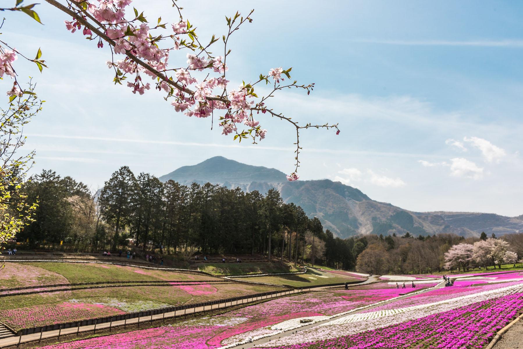 羊山公園の枝垂れ桜【秩父羊山公園:埼玉県秩父市】