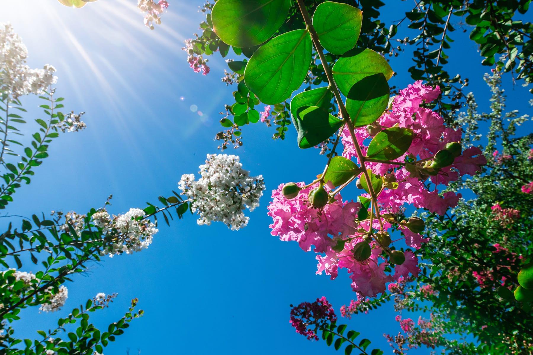 真夏の花ムクゲ【ムクゲ自然公園:埼玉県秩父郡皆野町】
