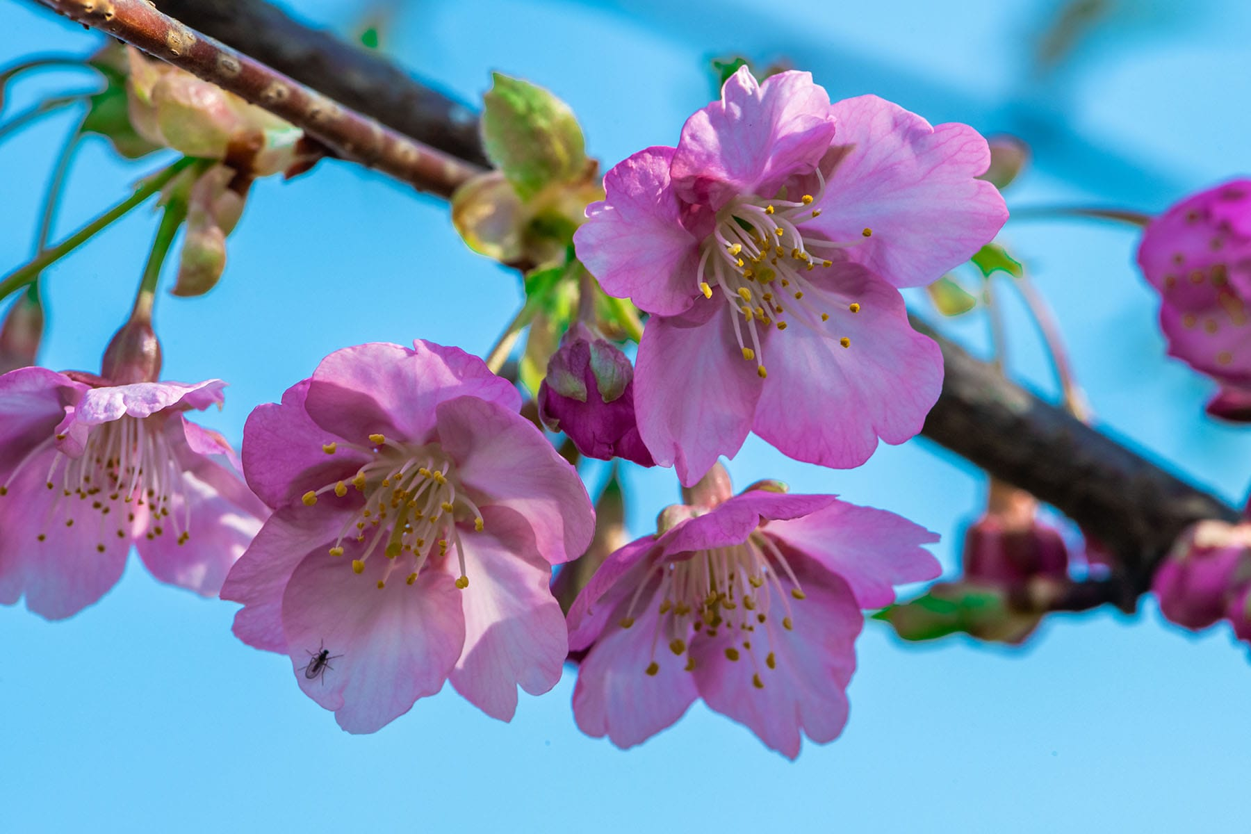 幸手権現堂桜まつり | フォトさいたま