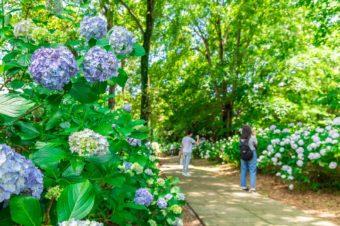 大宮公園の紫陽花と花菖蒲