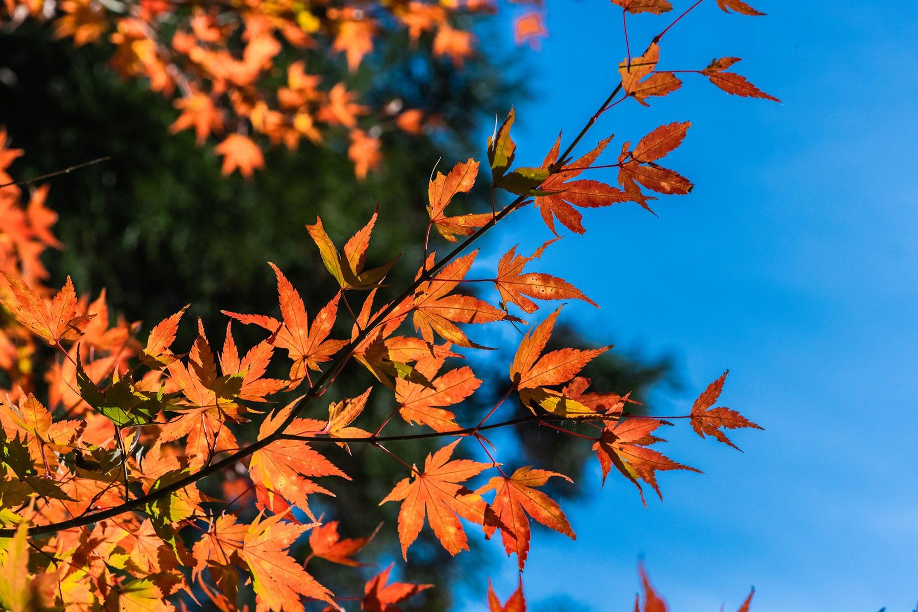 彩甲斐街道沿いの紅葉【大血川渓谷・三峰登竜渓付近|埼玉県秩父市】