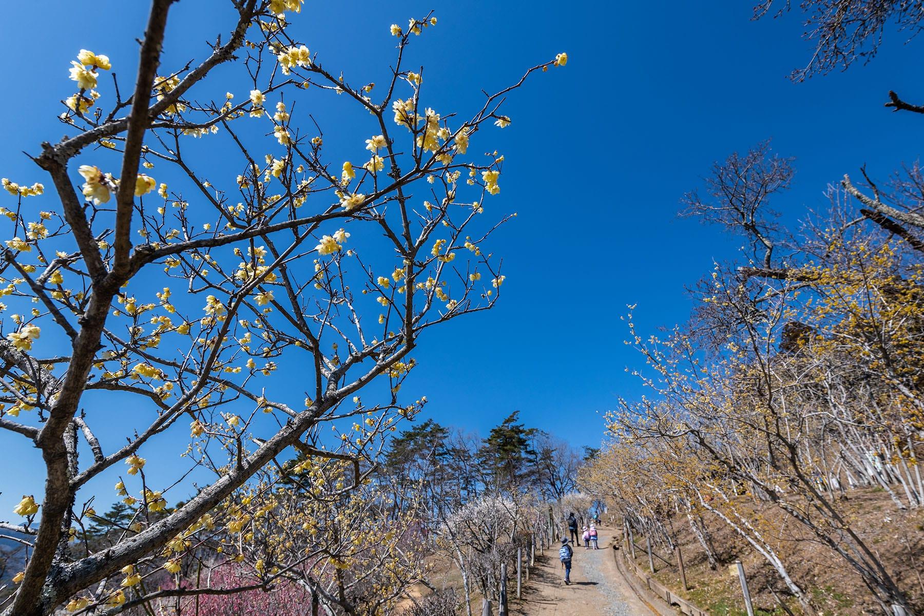 宝登山の梅林【長瀞・宝登山|埼玉県秩父郡長瀞町】 | フォトさいたま