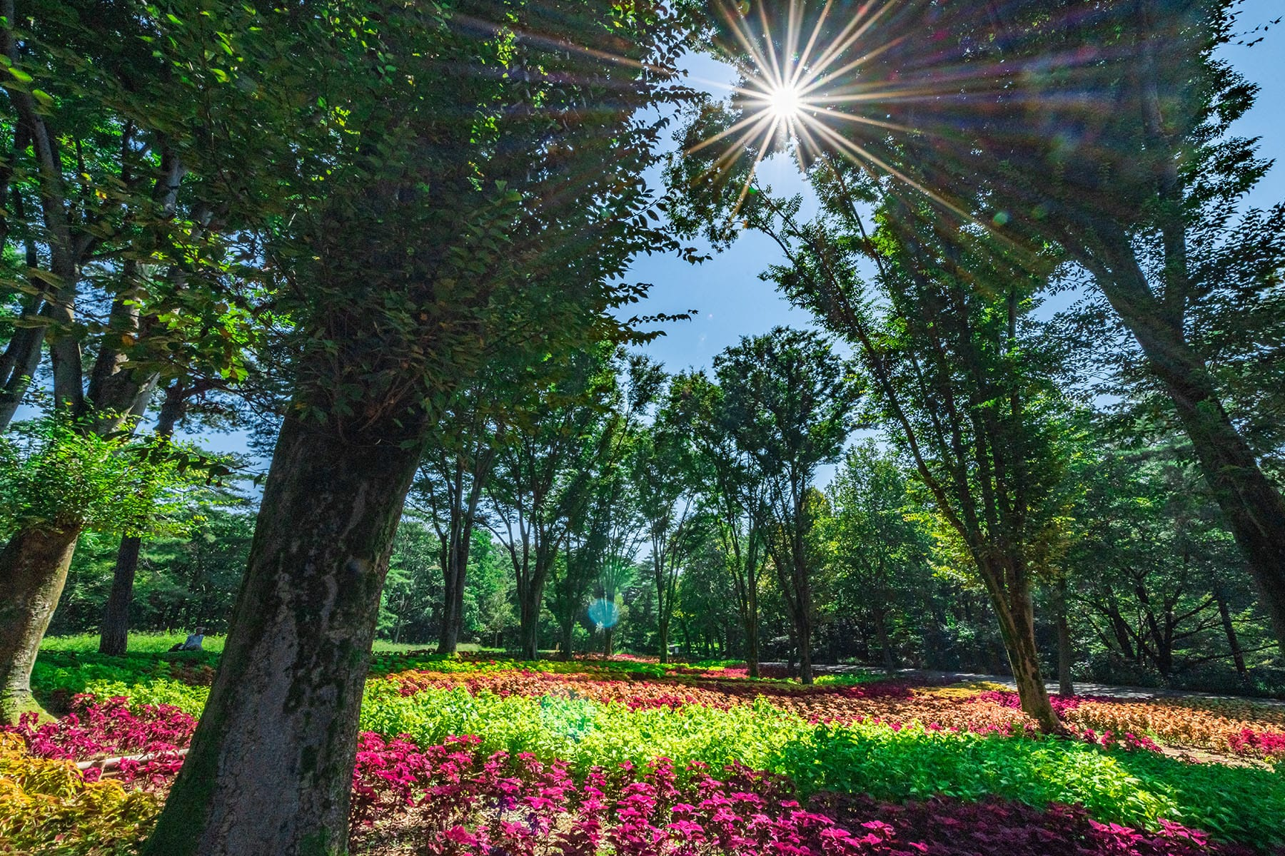 コリウス【武蔵丘陵森林公園|埼玉県比企郡滑川町】 | フォトさいたま