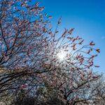 大宮公園の梅林【大宮第二公園(梅林)|埼玉県さいたま市】 | フォトさいたま