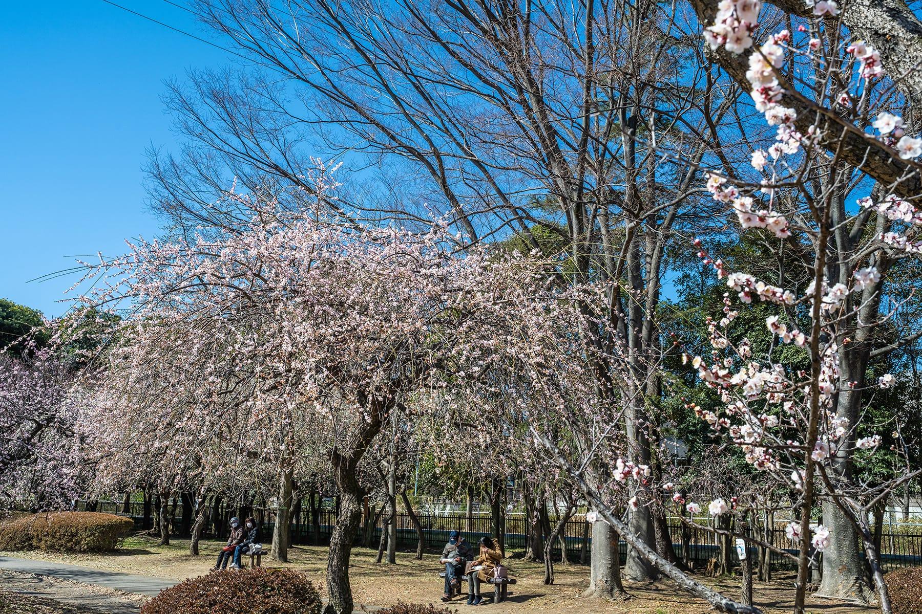 大宮公園の梅林【大宮第二公園(梅林) 埼玉県さいたま市】   フォトさいたま
