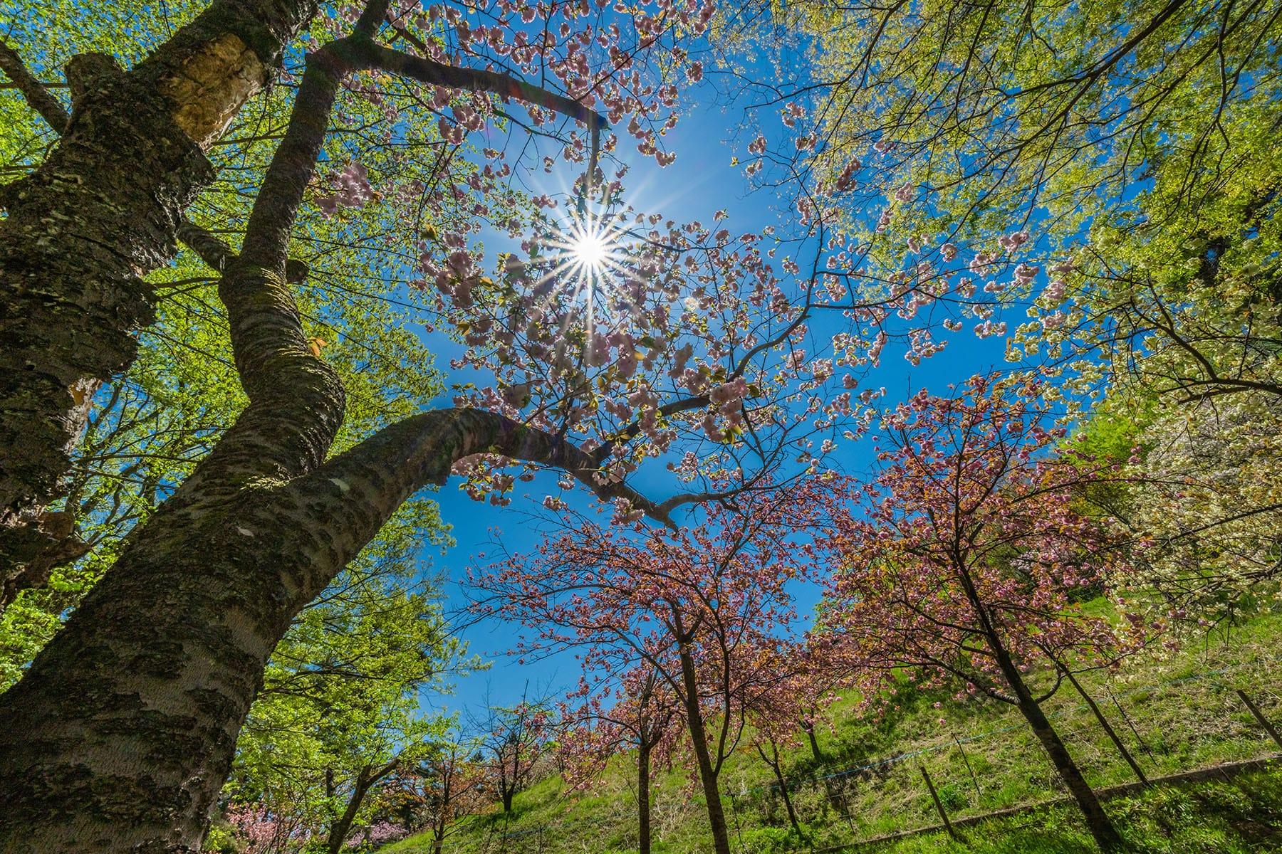 通り抜けの桜 【長瀞山 不動寺|埼玉県秩父郡長瀞町】| フォトさいたま