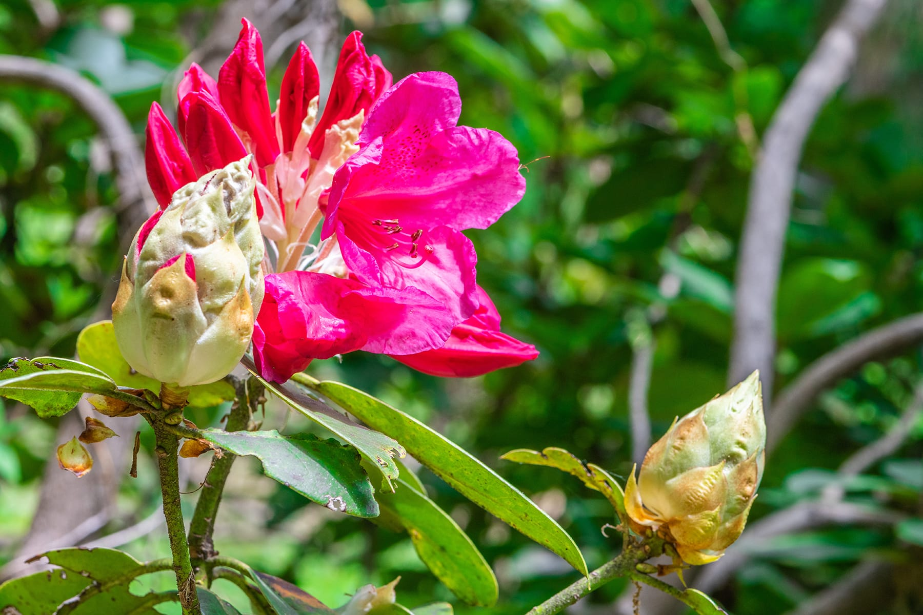 ミューズパークの石楠花 【秩父ミューズパーク・シャクナゲ園|埼玉県秩父郡小鹿野町】| フォトさいたま