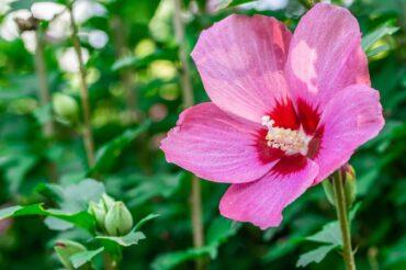 真夏の花ムクゲ