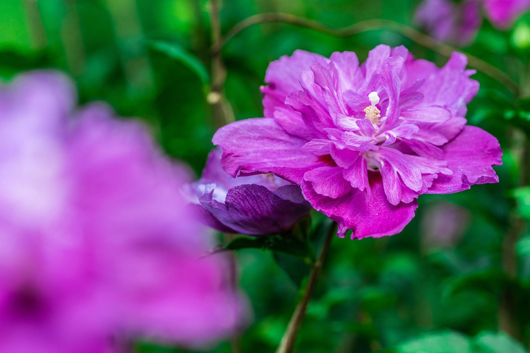 真夏の花ムクゲ【Mahora 稲穂山|埼玉県秩父郡皆野町】 | フォトさいたま