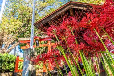 篠岡八幡大神社の彼岸花